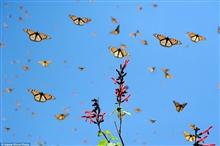Mê hồn với rừng bướm rợp trời ở Mê-xi-cô