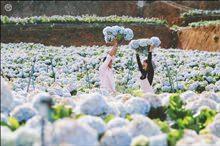 Cánh đồng hoa Cẩm tú cầu đẹp ngỡ ngàng ở Đà Lạt