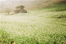 Rợp mùa hoa cải trắng - cải vàng