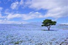 Xanh ngút ngàn đồi hoa Nemophila - Nhật Bản